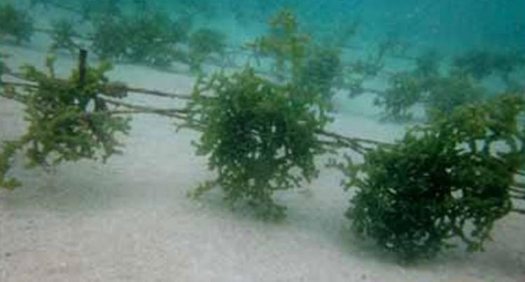 Seaweed Programme At Cakaudrove