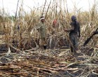 Pine And Cane Fire A Worry