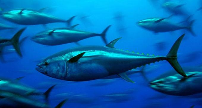 Fiji to Host Big Tuna Management Forum