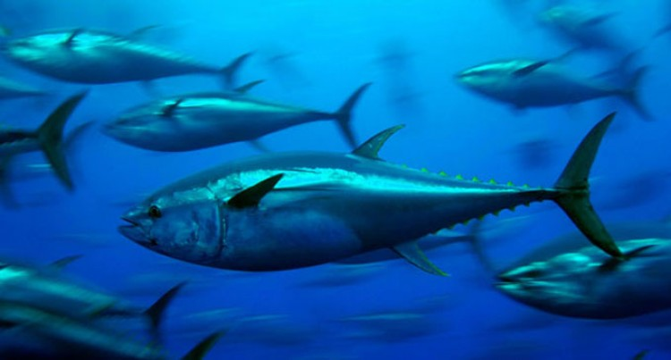 Offer Highlights Tuna Plight