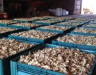 Our First Ginger Shipment Pleases Aussie Wholesalers