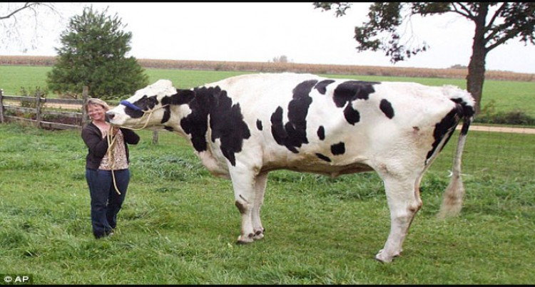 Blosom The 6ft 4in Pet Cow Is Crowned The Tallest In The World