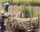Cane Quality Payment System To Be Brought In Next Season