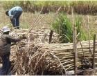 Sugar Funding For Fertiliser, Development, New Crop And Cultivators