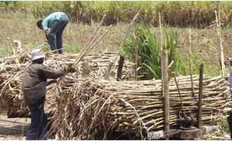 Dry Spell Affects Sugar Production At Rarawai