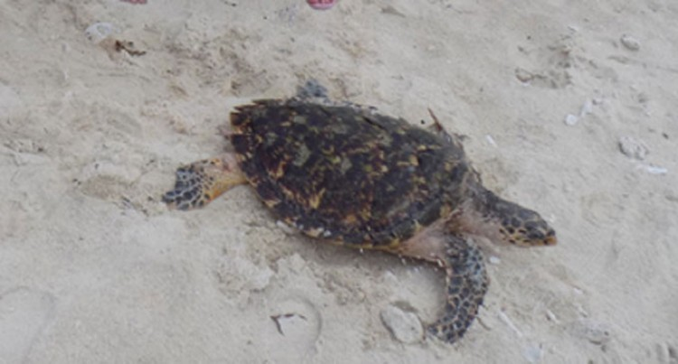 Treasure Resort Releases Turtle