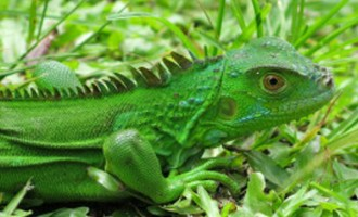 Military To Cull American Iguana