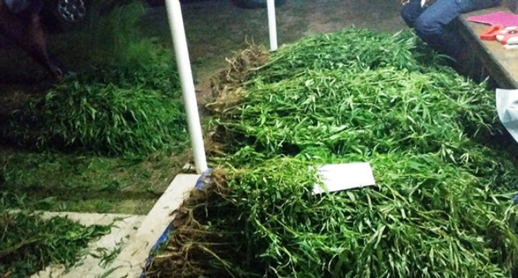 754 Marijuana Plants Seized In Kadavu