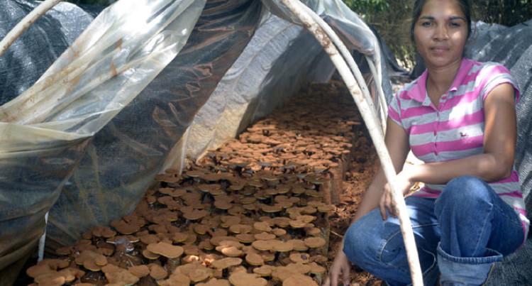 800 Medicinal Fungus Harvested