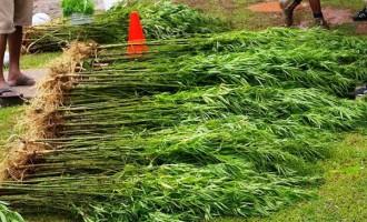 More Needs To Be Done To Eradicate Marijuana