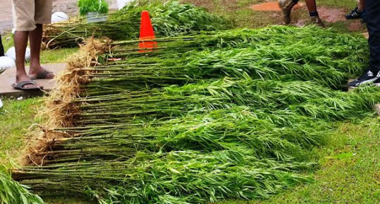 1300 'Marijuana' Plants Found In Kadavu