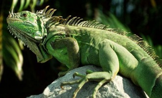 Soldiers Target Specific Areas For Iguana Fight