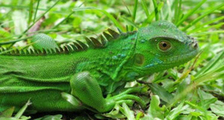 Iguana Fight Begins