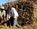 Govt Warns Sugarcane Producers, End Squabbling Or Be Left Behind