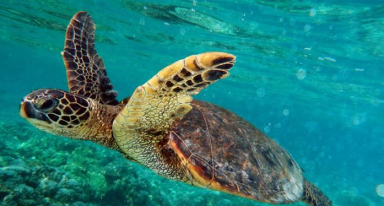 Seruiratu Releases 5 Hawksbill Turtles