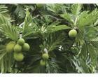 Market For Breadfruit Stressed