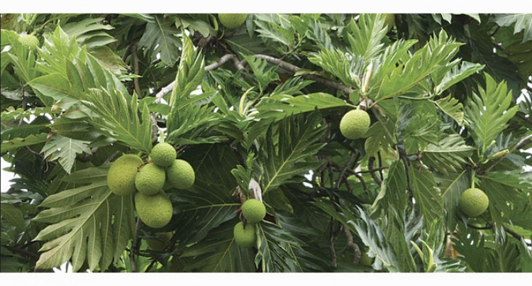 Market For Breadfruit Stressed