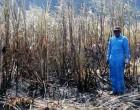 Burnt Cane Rise A Concern