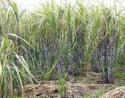 FCS Keen To Strengthen Labour Mobility In Sugar Sector