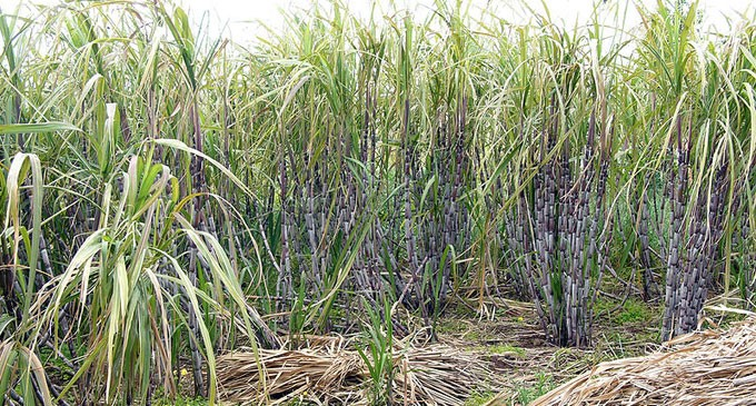 A Sugarcane Farmer's Real Take On Government Subsidy