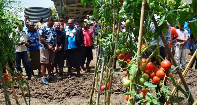 Ministry Releases New Tomato Variety