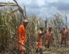 Inmates Help Harvest Cane