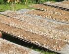 Kava Demand Creates Trade Opportunity Between Fiji, Madang