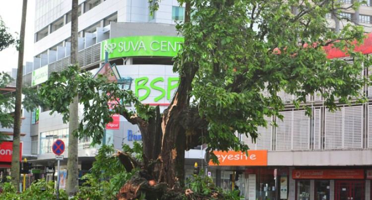 Landmark Iconic Ivi Tree Gives In