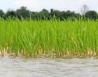 Fiji Rice Announces Boost For Farmers