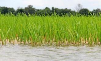 Fiji Rice Announces Boost For Farmers