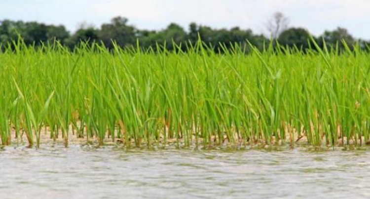 Rewa Farmers Urged To Consider Commercial Rice Cultivation
