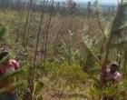 Winston Causes $2m Pine Damage, Two Years Set-Back