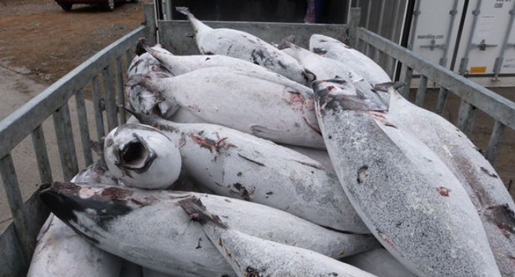 World Bank Says Pacific Can Earn More From Tuna