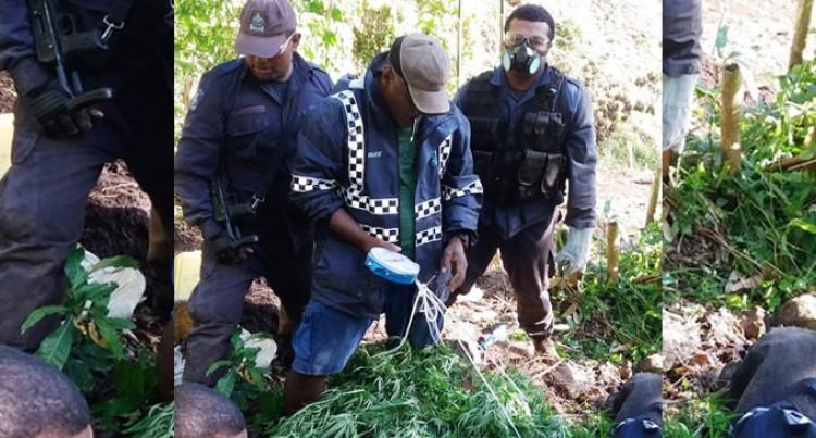 Operation Cavuraka 3000 Marijuana Plants Found In Navosa