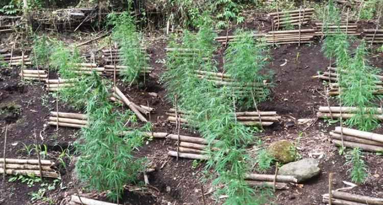 Marijuana Drug Farms Raided Through Operation Cavuraka