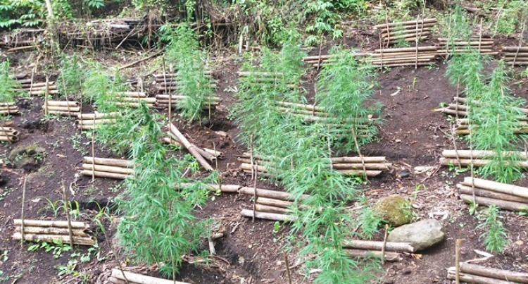 17, 000 More Marijuana Plants Found