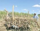 $11m For Sugar Development And Farmer Assistance