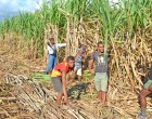 $20.7m For Sugar Rehab To Bring Crop Levels Back Up Sooner