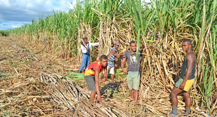 Vanuatu Cane Cutters Hired, Arrive Today