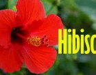 Only Two Entry Fees At Hibiscus