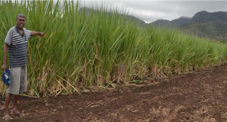 Wet Weather Brings Relief To Labasa Cane Farmers