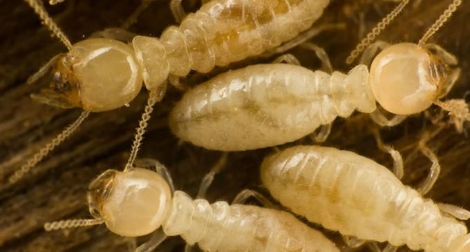 Lautoka, Labasa  Declared Emergency Areas For Termites