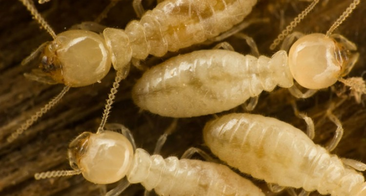 Lautoka, Labasa  Declared Emergency Areas For Termites