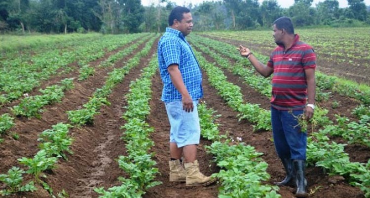 Potato Farming In Naitasiri Continues