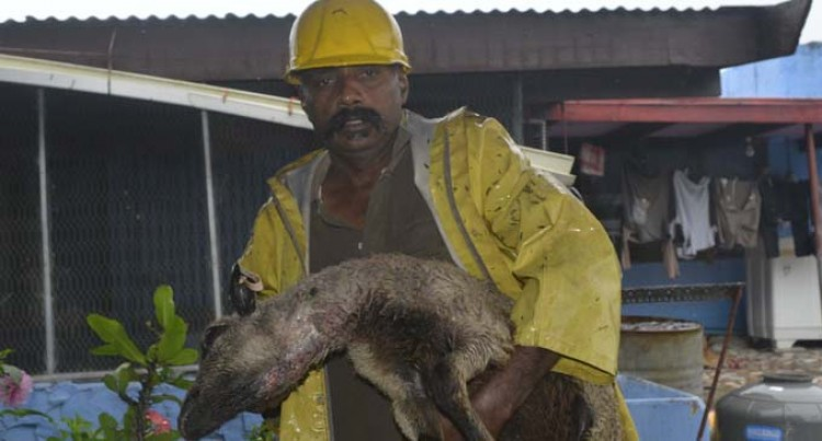Wild Dogs Attack Sigatoka Livestock