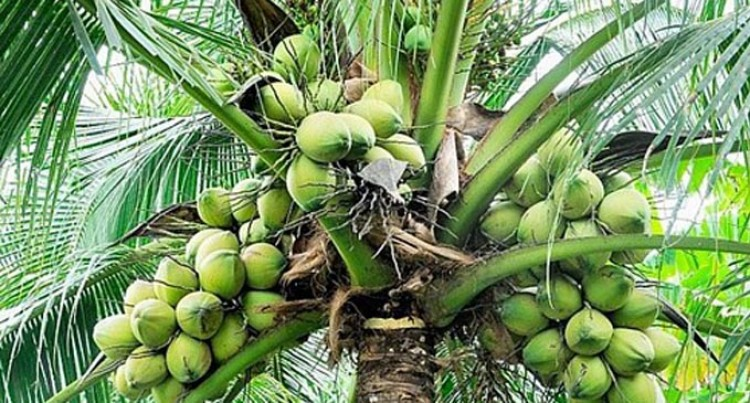 Coconut Industry Under Pressure From Dalo And Yaqona
