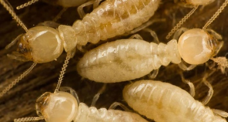 Fiji Times Sensationalises Termites, Says Authority