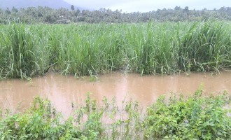 Concerns Over Continuous Rain Affecting Sugarcane Germination