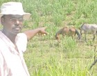 Cane Farmers Concerned About Stray Animals
