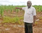Sugar Cane Growers Council To Submit Cane Damage Report